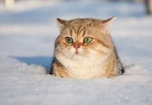 cat,cute,snow,winter,fat,cat,kote-7e3b8256b01fb3dbe6d4dc3ad759e449_h