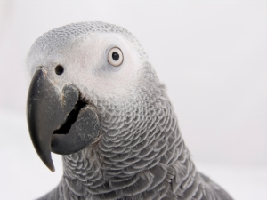 Head of African Grey